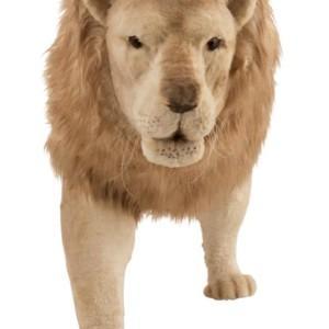 Grosse Peluche Lion